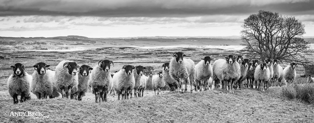 The line up. Sheep on Cotherstone Moor