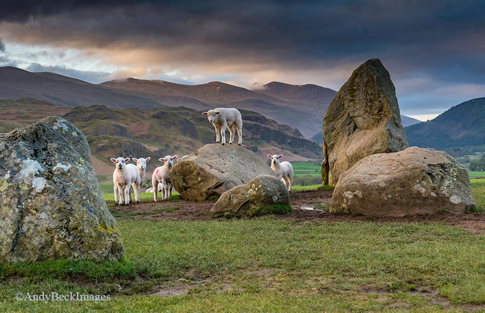 Castlerigg Lambs, Keswick