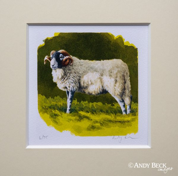 Swaledale tup small print