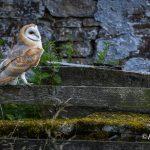 Barn Owl Teesdale
