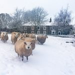 Bowes village sheep