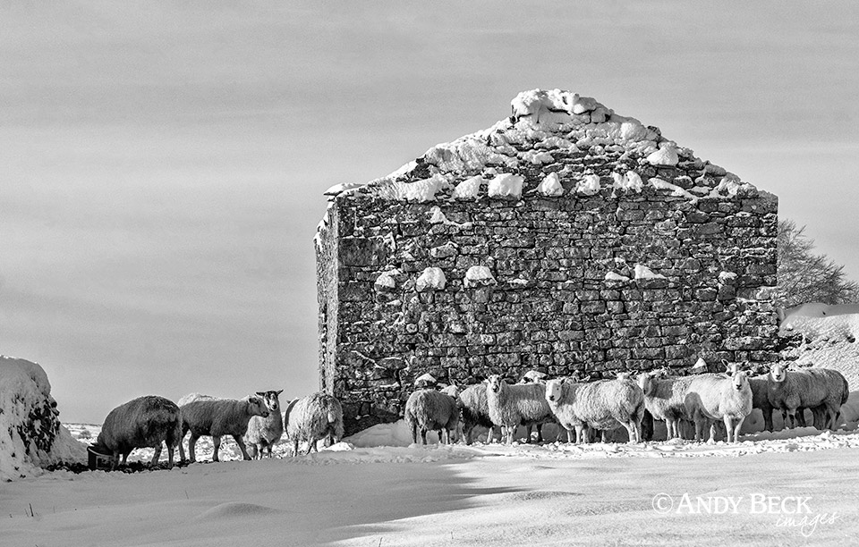 Sheep at Bowes black and white