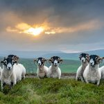 Swaledale tups on Kisdon