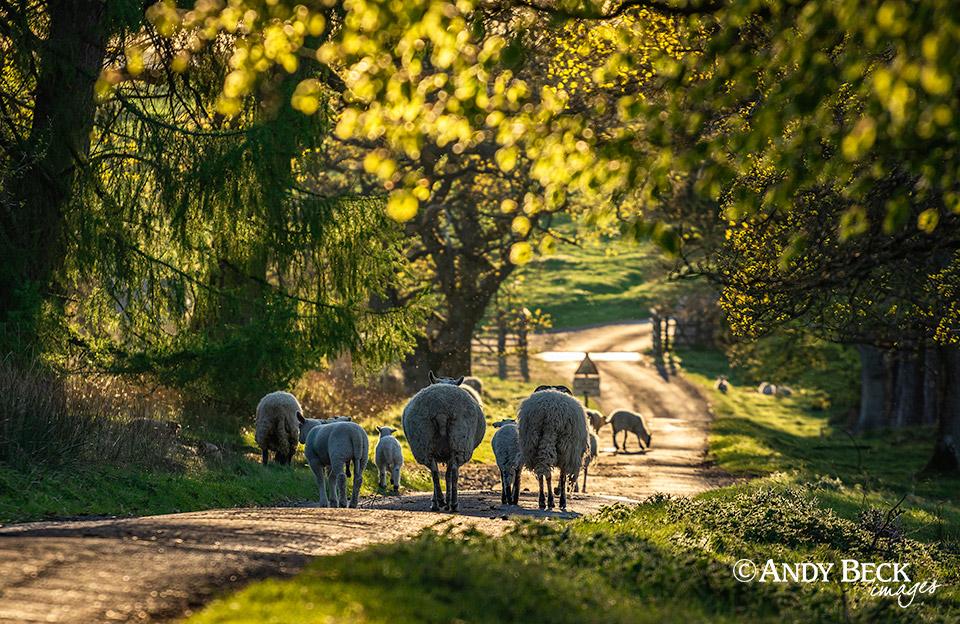 woodland sheep