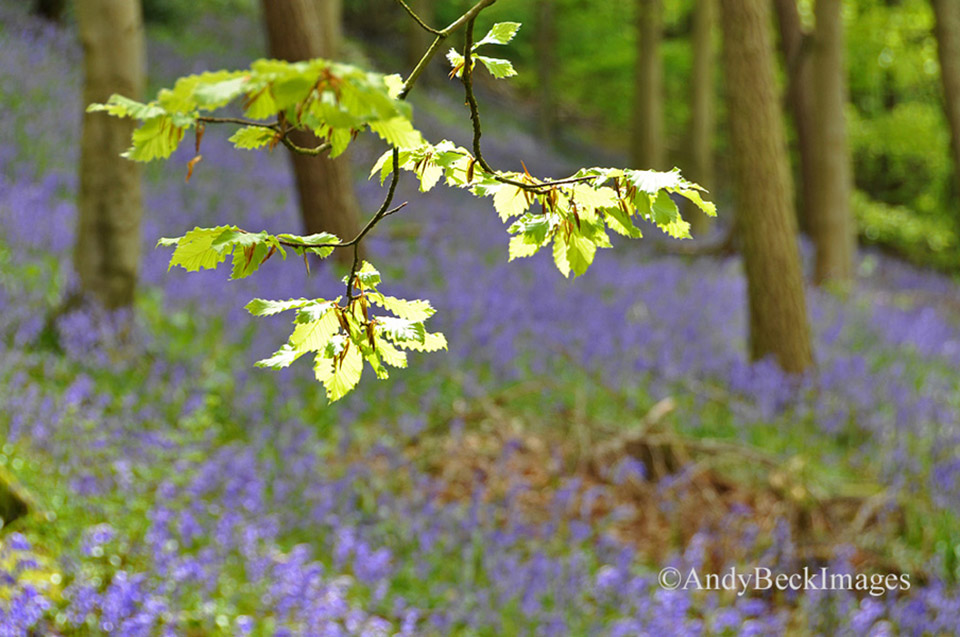 Bluebells in Flatts Wood