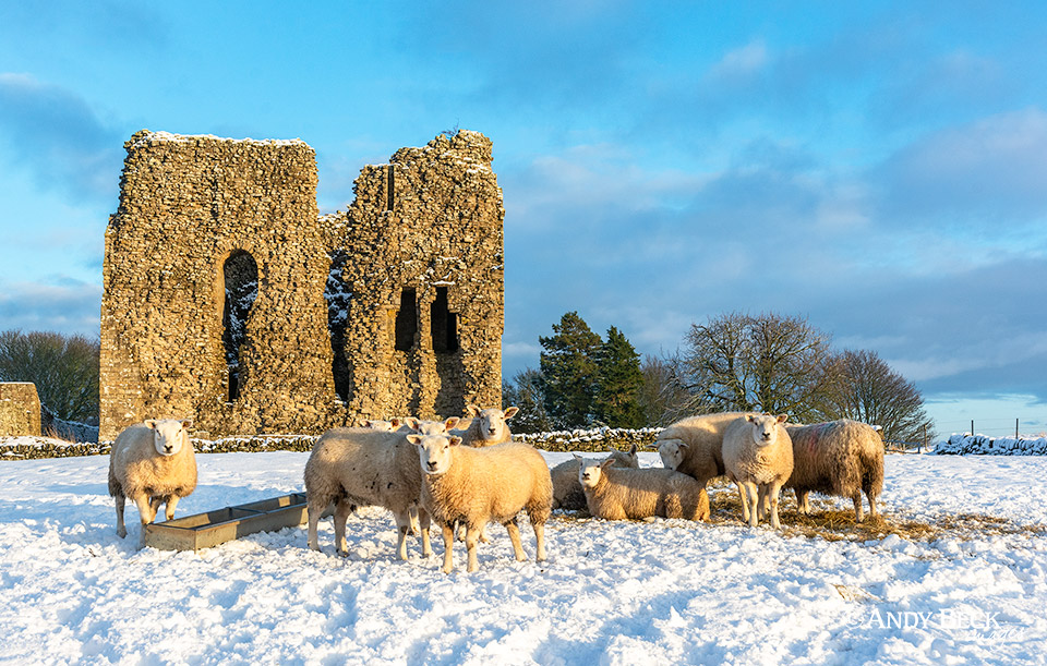 Sheep in the snow and sun, Bowes Castle