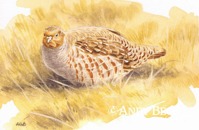 Grey Partridge sketch
