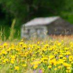 July haymeadow, Swaledale