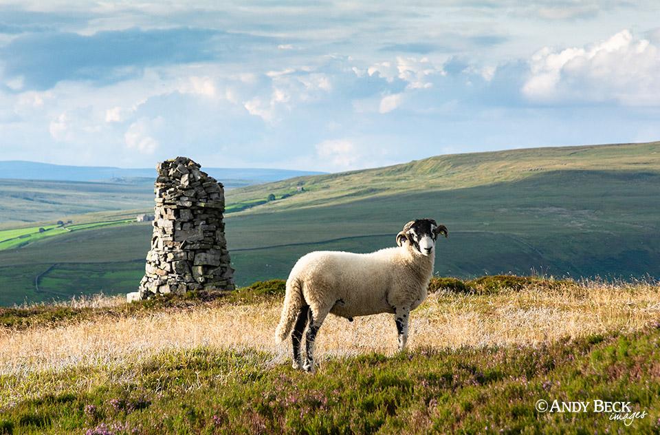 Kisdon sheep and cairn