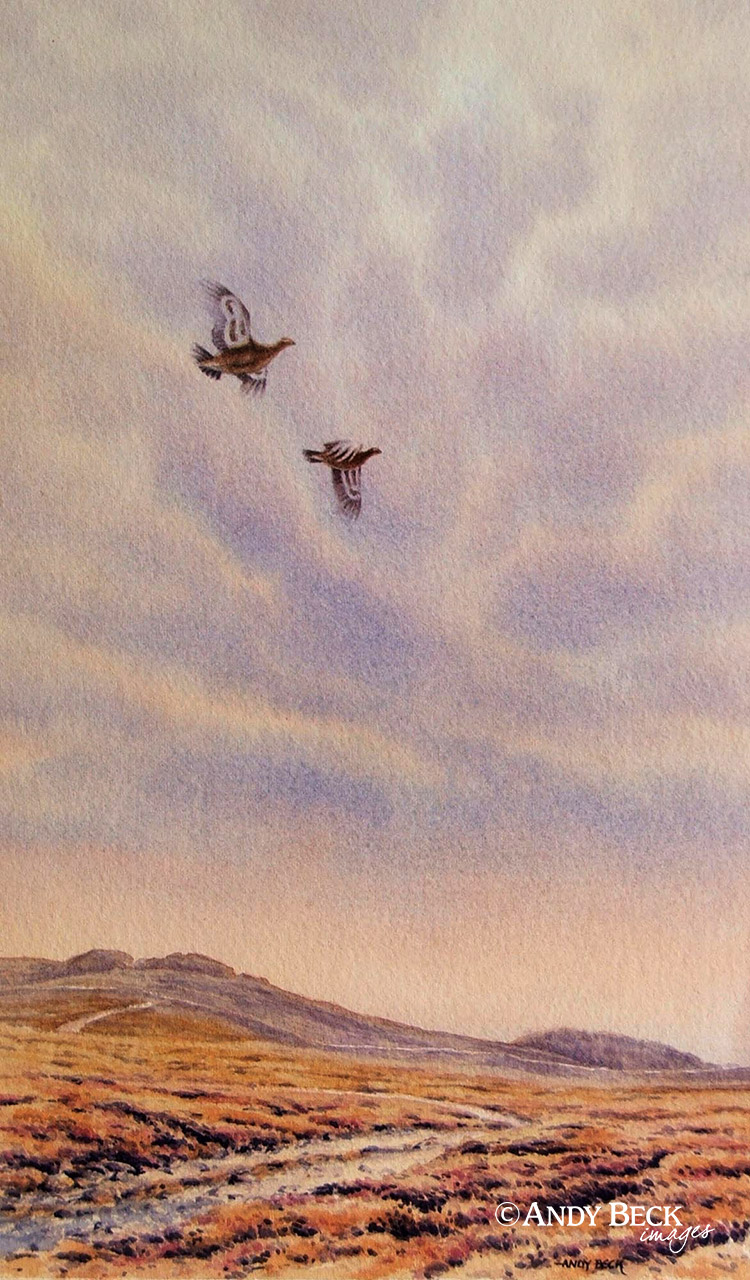Red Grouse evening sky original watercolour painting