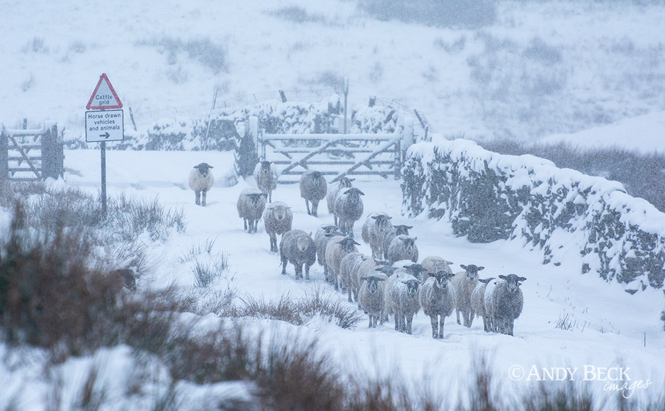 Snowfall on the sheep, Sleightholme road, Bowes