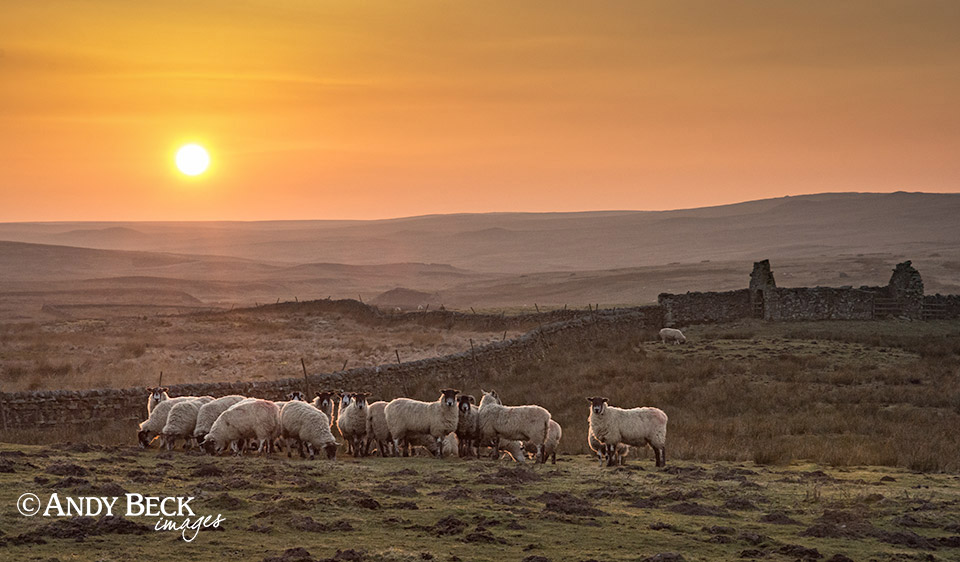Swaledale sheep at sunset near Bowes