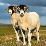 Swaledale tups in the afternoon sun