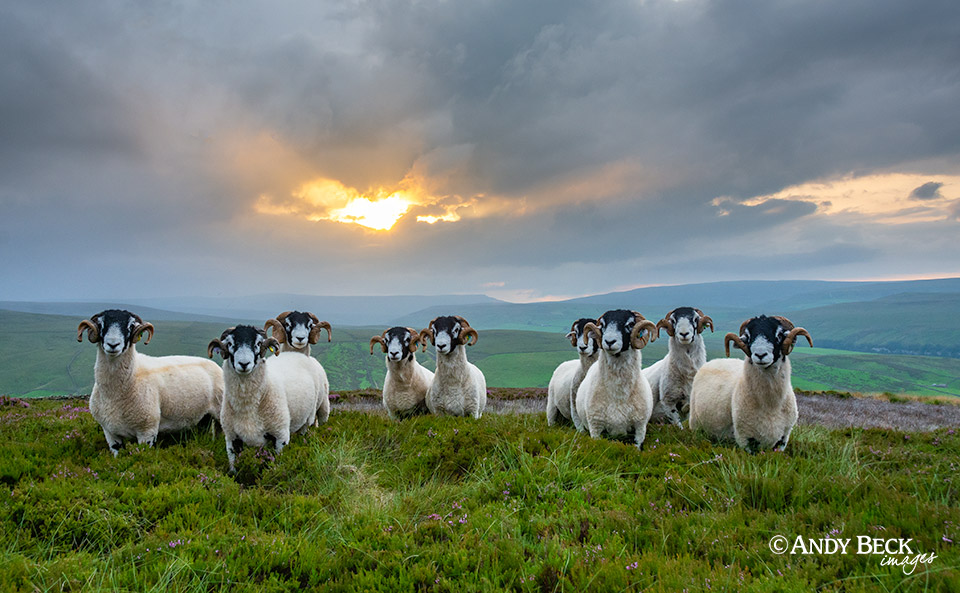 Swaledale tups at sunset