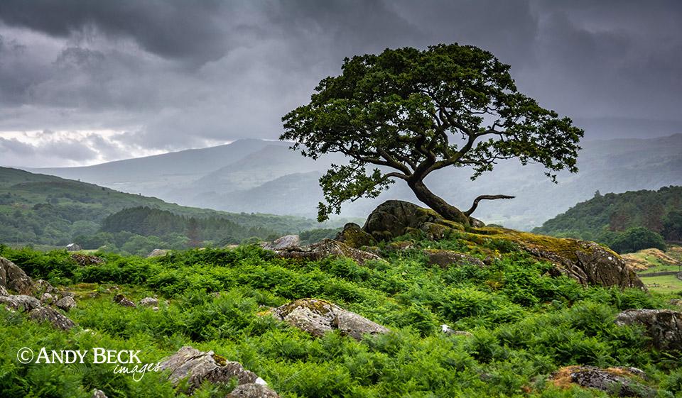 Walna Scar tree and a wet Duddon Valley