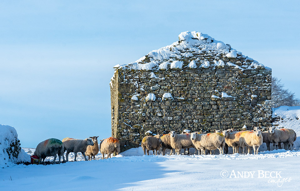 The gable end, sheep at Bowes