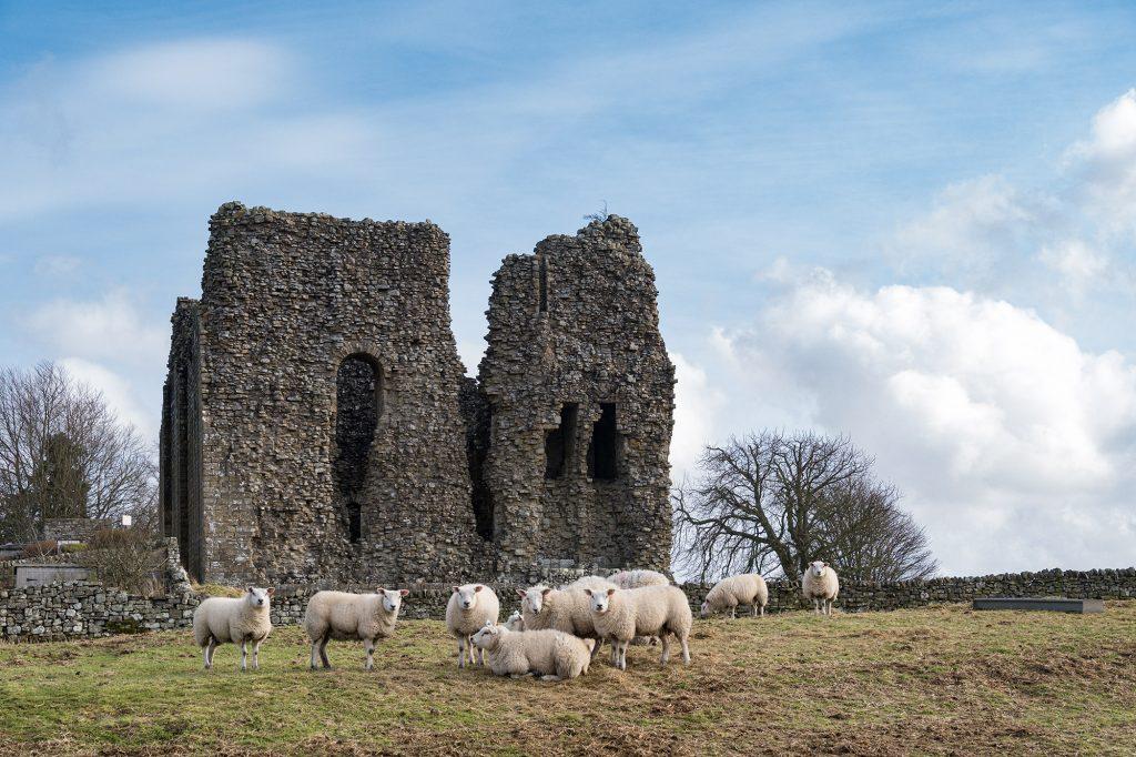 Sheep near Bowes Castle