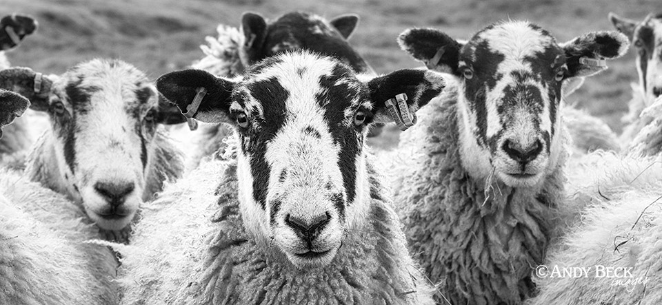Mule sheep