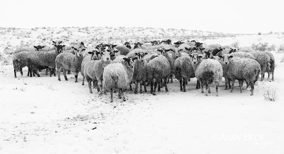 sheep in snow Teesdale