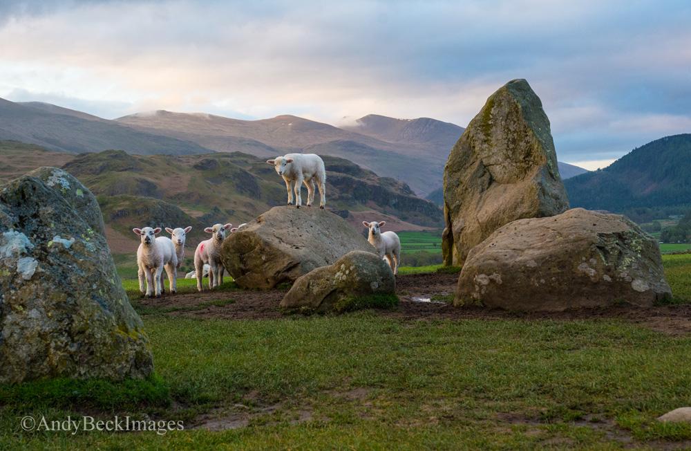 Castlerigg lambs