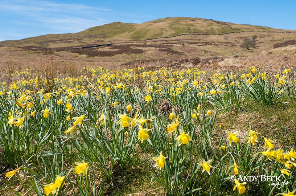 Lakeland daffodils and Capple Howe