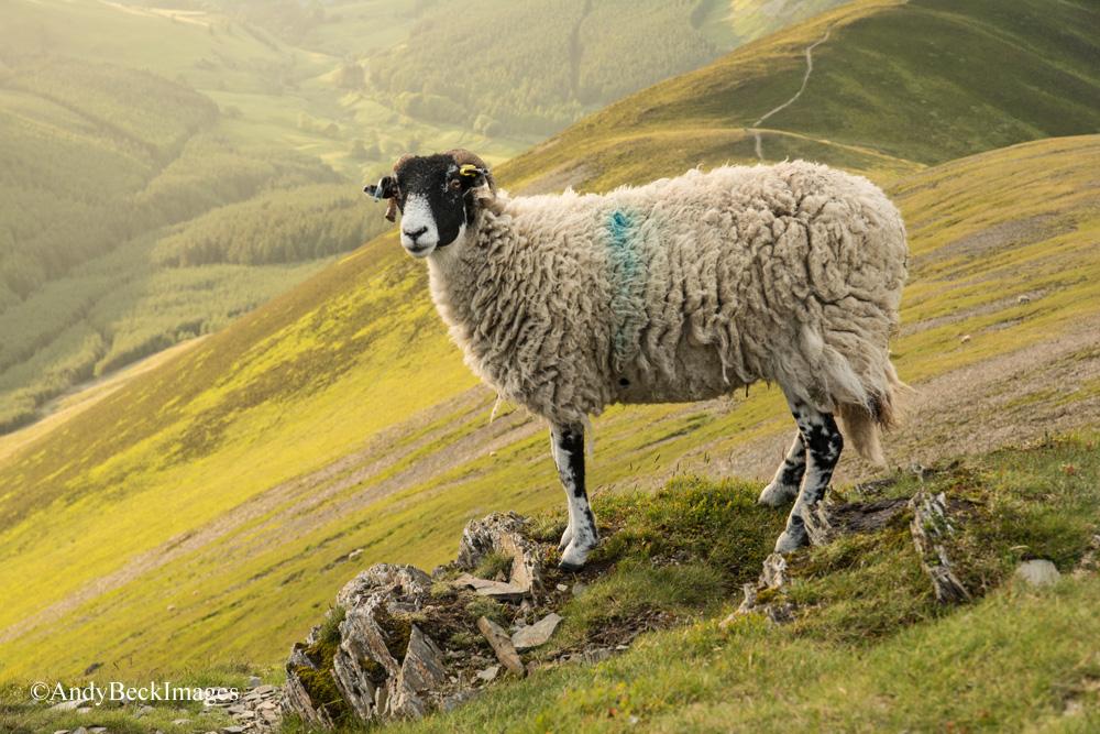 Swaledale sheep on Grisedale Pike