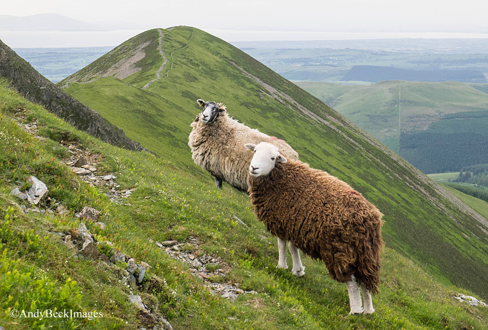 ladyside Pike and sheep