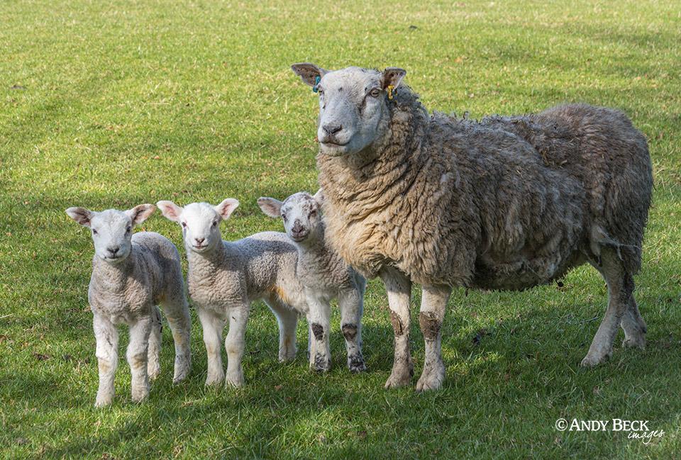Lambing time at Gilmonby