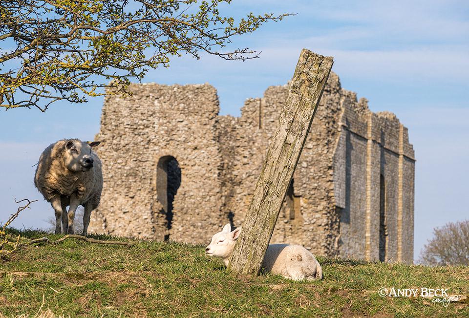 Lamb at Bowes Castle