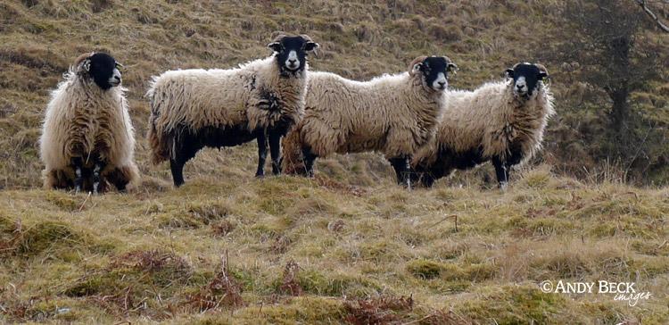 Swaledale sheep group