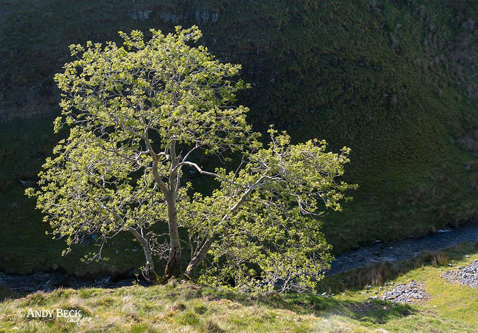 Huggill Force tree