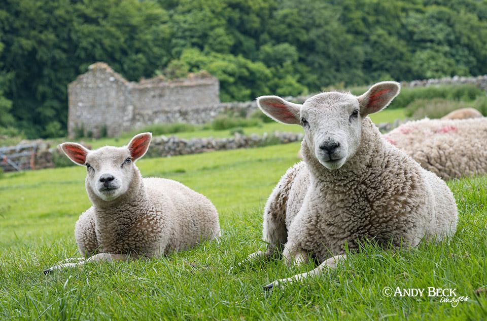 Lambs at Bowes