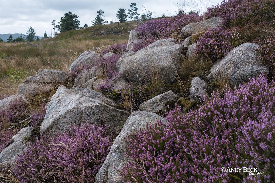 Heather and rocks