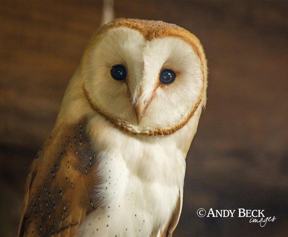 Teesdale calendar 2022 Barn Owl