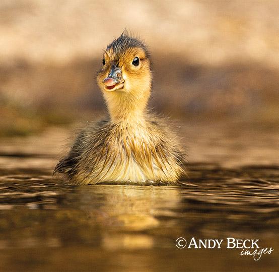 Teesdale calendar 2022 duckling